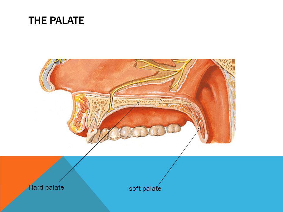 THE PALATE Hard palate soft palate