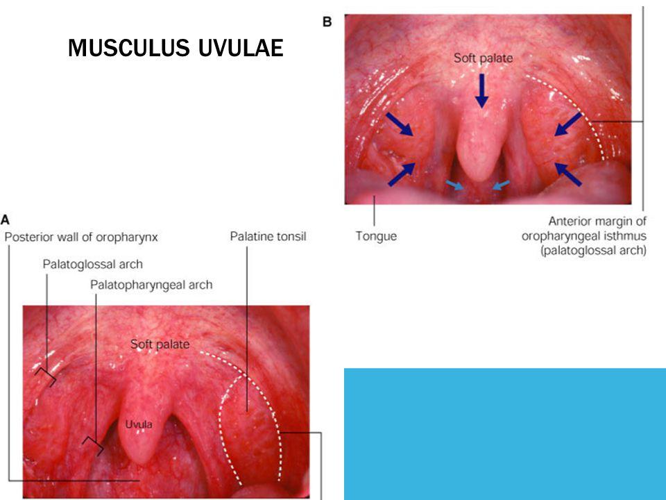 MUSCULUS UVULAE