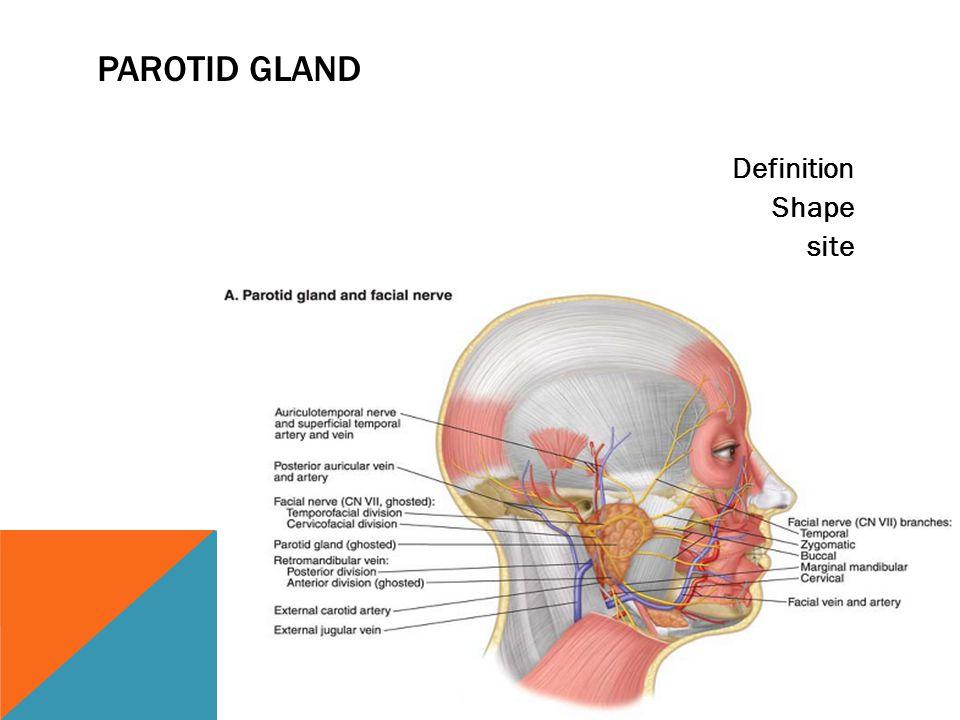 PAROTID GLAND Definition Shape site