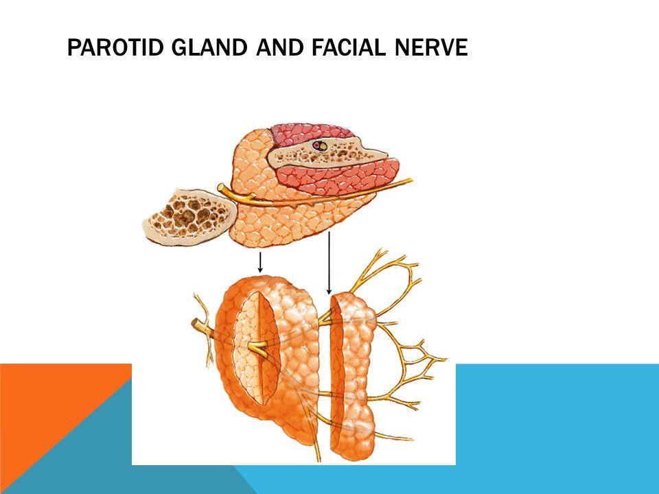 PAROTID GLAND AND FACIAL NERVE