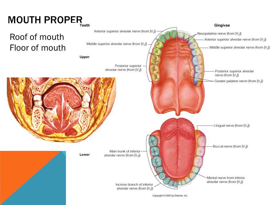 FLOOR OF THE MOUTH Frenulum of the tongue Plica fimbriata Sublingual fold