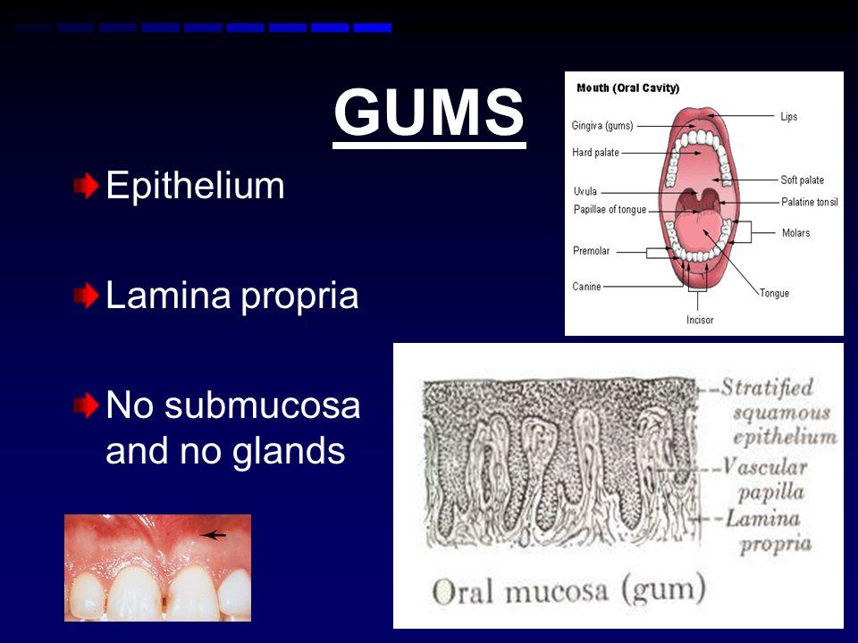 GUMS Epithelium Lamina propria No submucosa and no glands