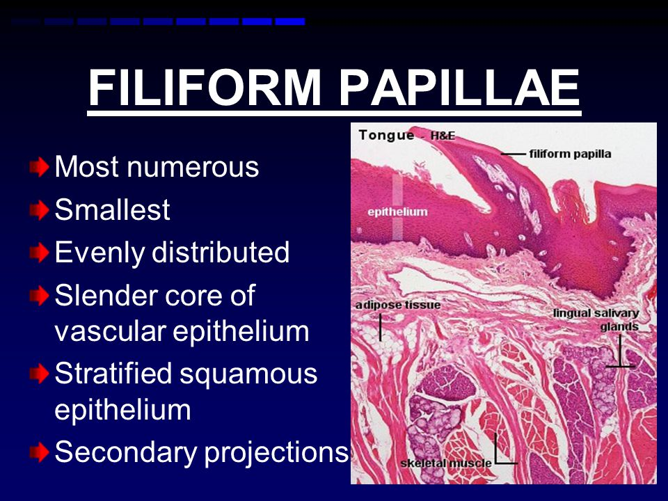 FILIFORM PAPILLAE Most numerous Smallest Evenly distributed Slender core of vascular epithelium Stratified squamous epithelium Secondary projections