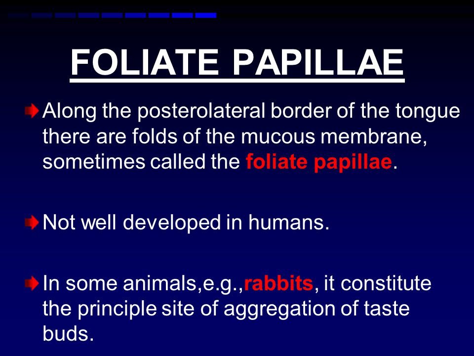 FOLIATE PAPILLAE Along the posterolateral border of the tongue there are folds of the mucous membrane, sometimes called the foliate papillae.