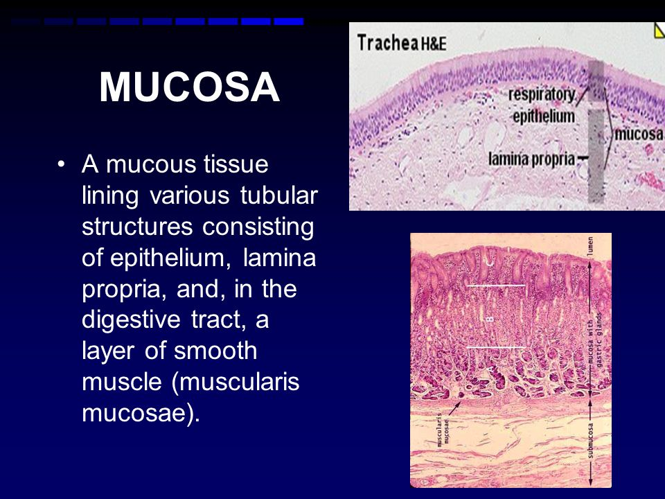 MUCOSA A mucous tissue lining various tubular structures consisting of epithelium, lamina propria, and, in the digestive tract, a layer of smooth muscle (muscularis mucosae).