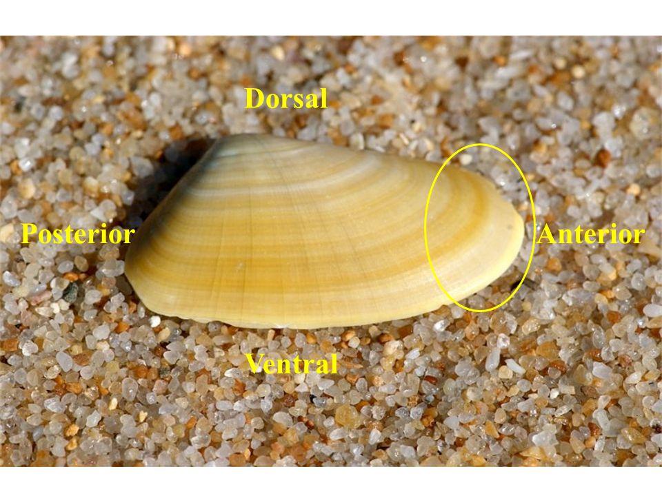 AnteriorPosterior Ventral Dorsal