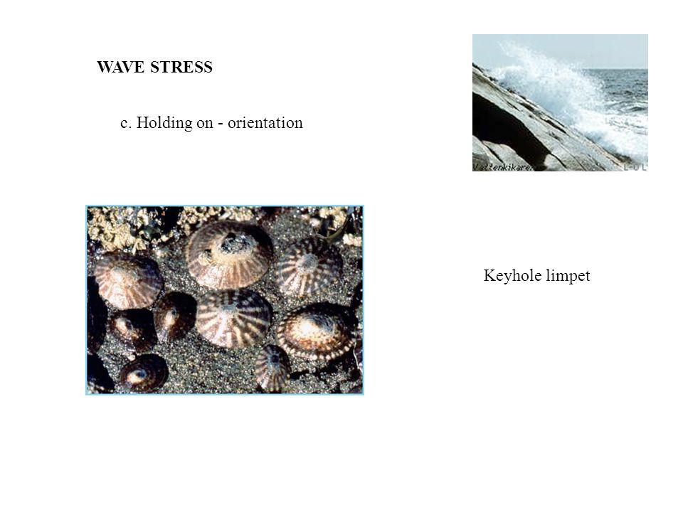WAVE STRESS c. Holding on - orientation Keyhole limpet