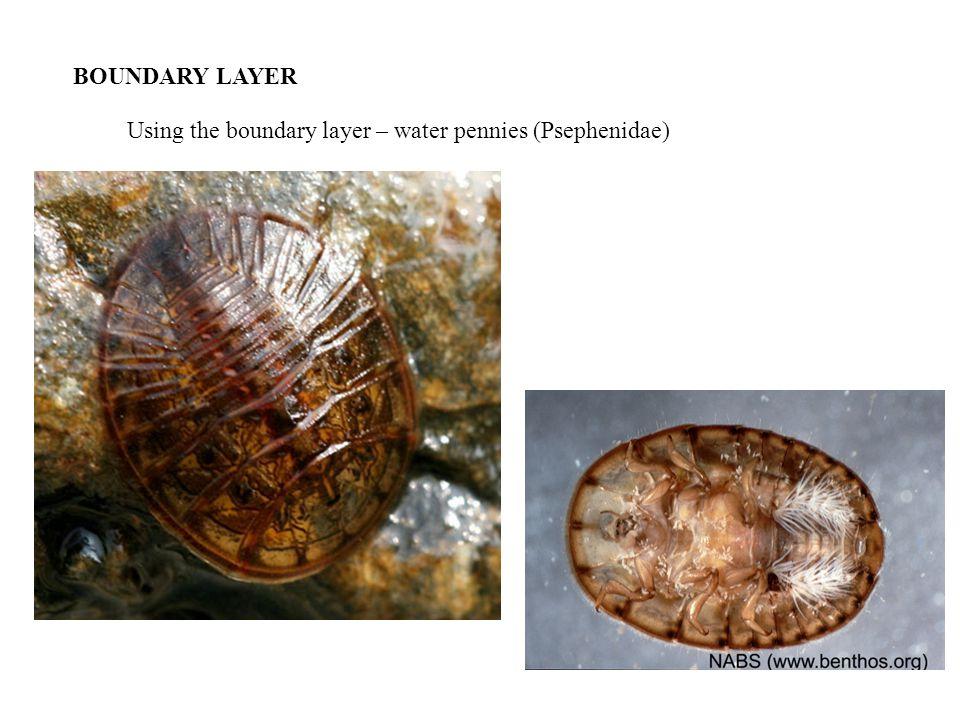 BOUNDARY LAYER Using the boundary layer – water pennies (Psephenidae)