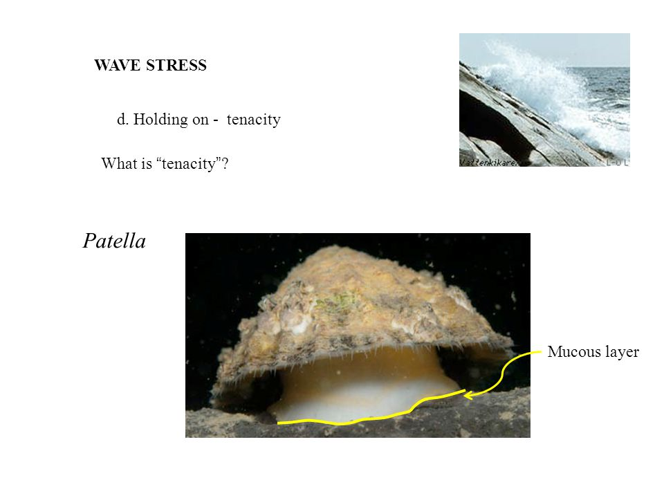 WAVE STRESS d. Holding on - tenacity What is tenacity ? Patella Mucous layer