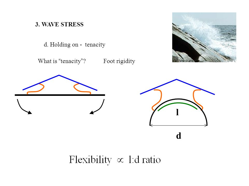 3. WAVE STRESS d. Holding on - tenacity What is tenacity ? Foot rigidity l d