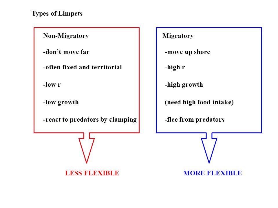 Types of Limpets Non-MigratoryMigratory -don't move far -often fixed and territorial -low r -low growth -move up shore -high r -high growth (need high food intake) -react to predators by clamping-flee from predators LESS FLEXIBLEMORE FLEXIBLE