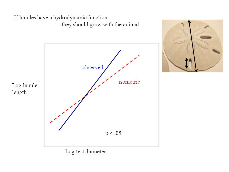 Log lunule length Log test diameter p <.05 If lunules have a hydrodynamic function -they should grow with the animal isometric observed