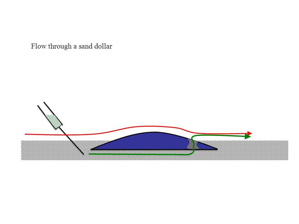 Flow through a sand dollar