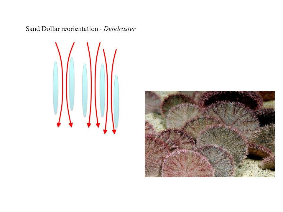 Sand Dollar reorientation - Dendraster