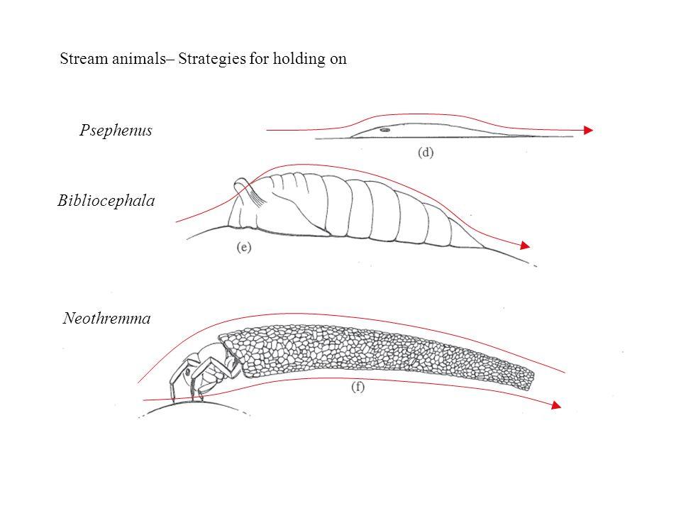 Psephenus Neothremma Bibliocephala Stream animals– Strategies for holding on