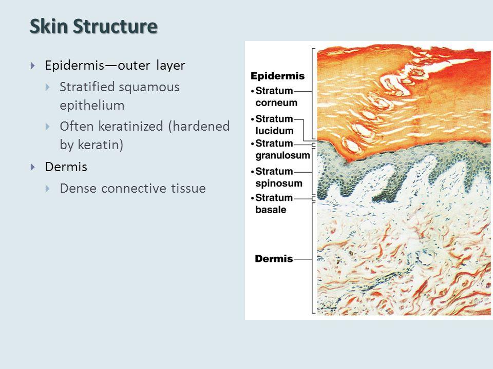Skin Structure  Epidermis—outer layer  Stratified squamous epithelium  Often keratinized (hardened by keratin)  Dermis  Dense connective tissue