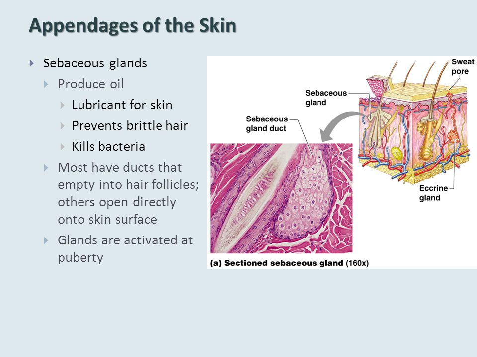 Appendages of the Skin  Sebaceous glands  Produce oil  Lubricant for skin  Prevents brittle hair  Kills bacteria  Most have ducts that empty into hair follicles; others open directly onto skin surface  Glands are activated at puberty