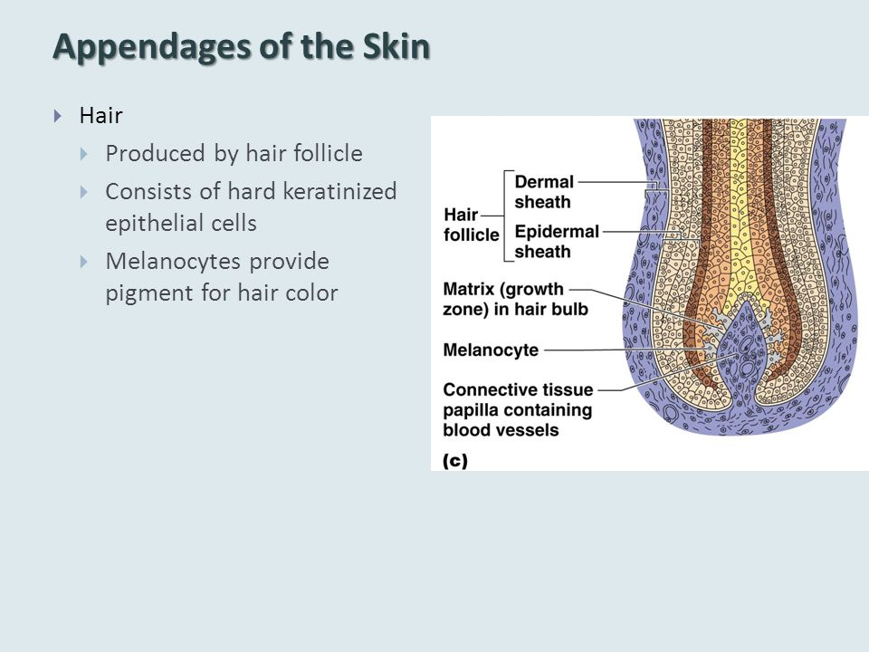 Appendages of the Skin  Hair  Produced by hair follicle  Consists of hard keratinized epithelial cells  Melanocytes provide pigment for hair color