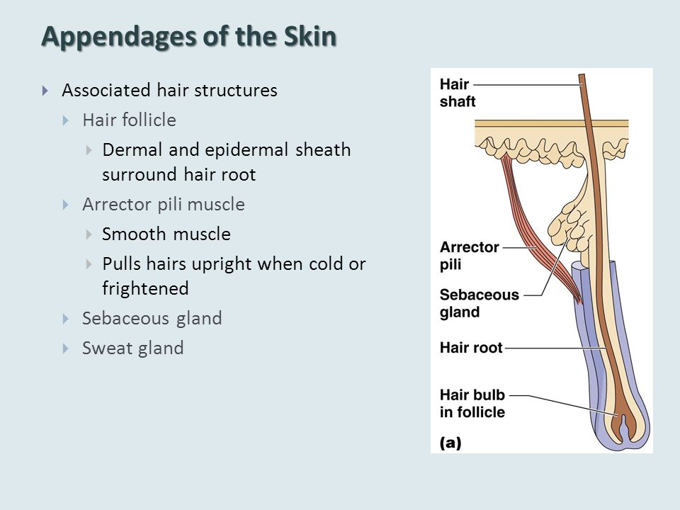 Appendages of the Skin  Associated hair structures  Hair follicle  Dermal and epidermal sheath surround hair root  Arrector pili muscle  Smooth muscle  Pulls hairs upright when cold or frightened  Sebaceous gland  Sweat gland