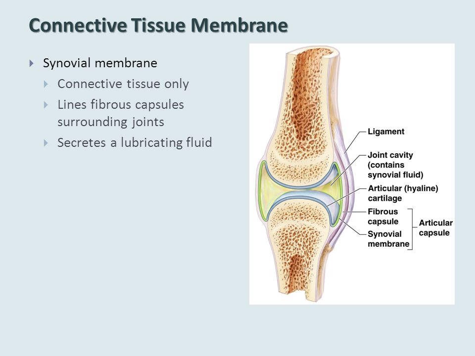 Connective Tissue Membrane  Synovial membrane  Connective tissue only  Lines fibrous capsules surrounding joints  Secretes a lubricating fluid