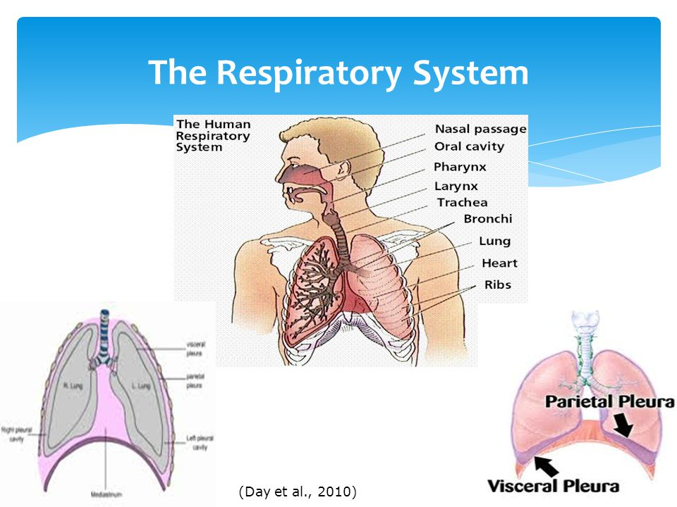 The Respiratory System (Day et al., 2010)