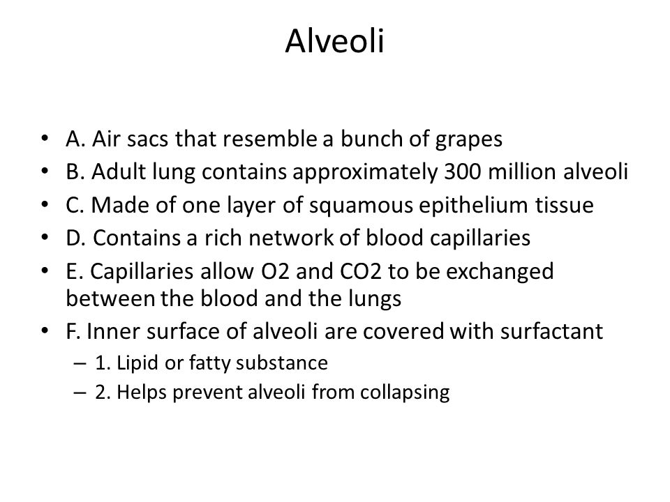 Alveoli A. Air sacs that resemble a bunch of grapes B. Adult lung contains approximately 300 million alveoli C. Made of one layer of squamous epitheli