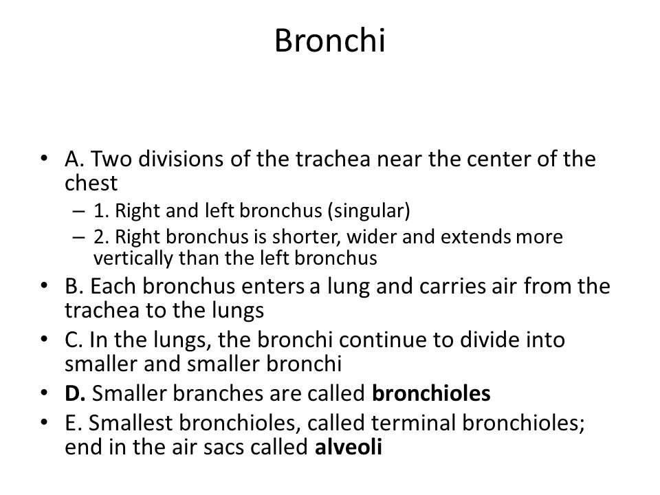 Bronchi A. Two divisions of the trachea near the center of the chest – 1. Right and left bronchus (singular) – 2. Right bronchus is shorter, wider and