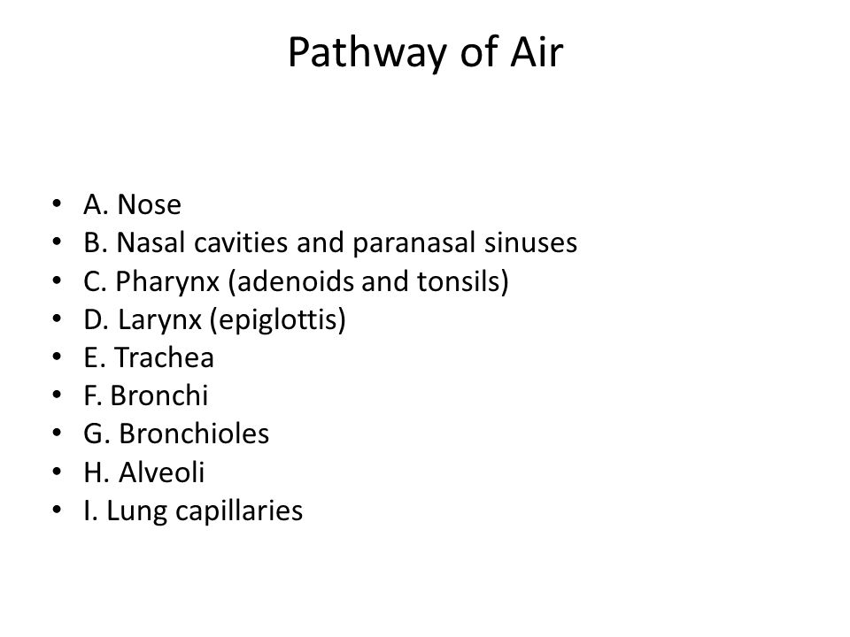 Pathway of Air A. Nose B. Nasal cavities and paranasal sinuses C. Pharynx (adenoids and tonsils) D. Larynx (epiglottis) E. Trachea F. Bronchi G. Bronc