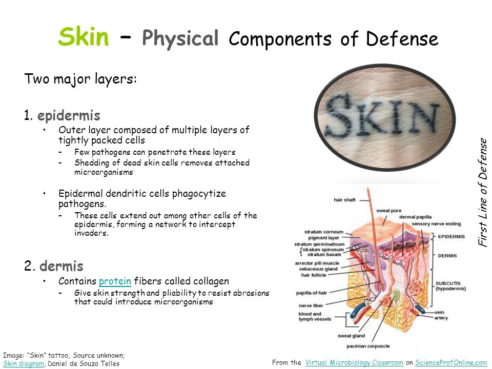 Skin – Physical Components of Defense Two major layers: 1. epidermis Outer layer composed of multiple layers of tightly packed cells –Few pathogens ca