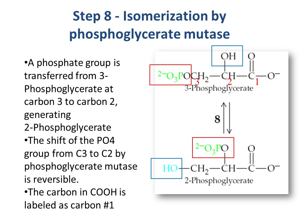 Step 8 - Isomerization by phosphoglycerate mutase A phosphate group is transferred from 3- Phosphoglycerate at carbon 3 to carbon 2, generating 2-Phosphoglycerate The shift of the PO4 group from C3 to C2 by phosphoglycerate mutase is reversible.