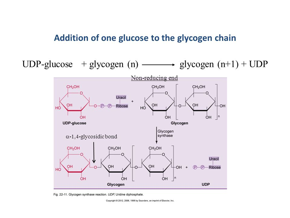 UDP-glucose + glycogen (n) glycogen (n+1) + UDP Addition of one glucose to the glycogen chain Non-reducing end  -1,4-glycosidic bond