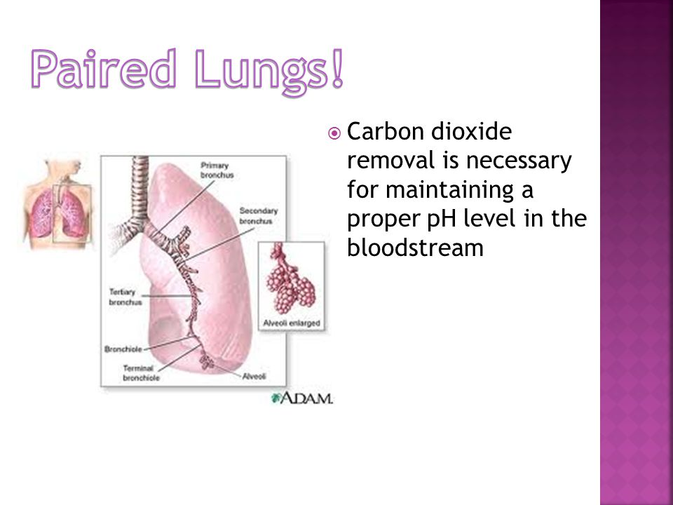  Carbon dioxide removal is necessary for maintaining a proper pH level in the bloodstream