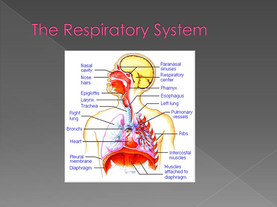  Breathing - Anatomy Video: MedlinePlus Medical Encyclopedia. National Library of Medicine - National Institutes of Health.