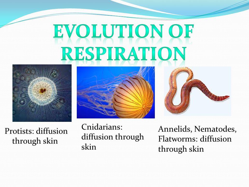 Protists: diffusion through skin Cnidarians: diffusion through skin Annelids, Nematodes, Flatworms: diffusion through skin