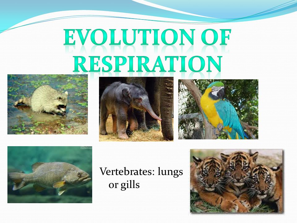 Vertebrates: lungs or gills