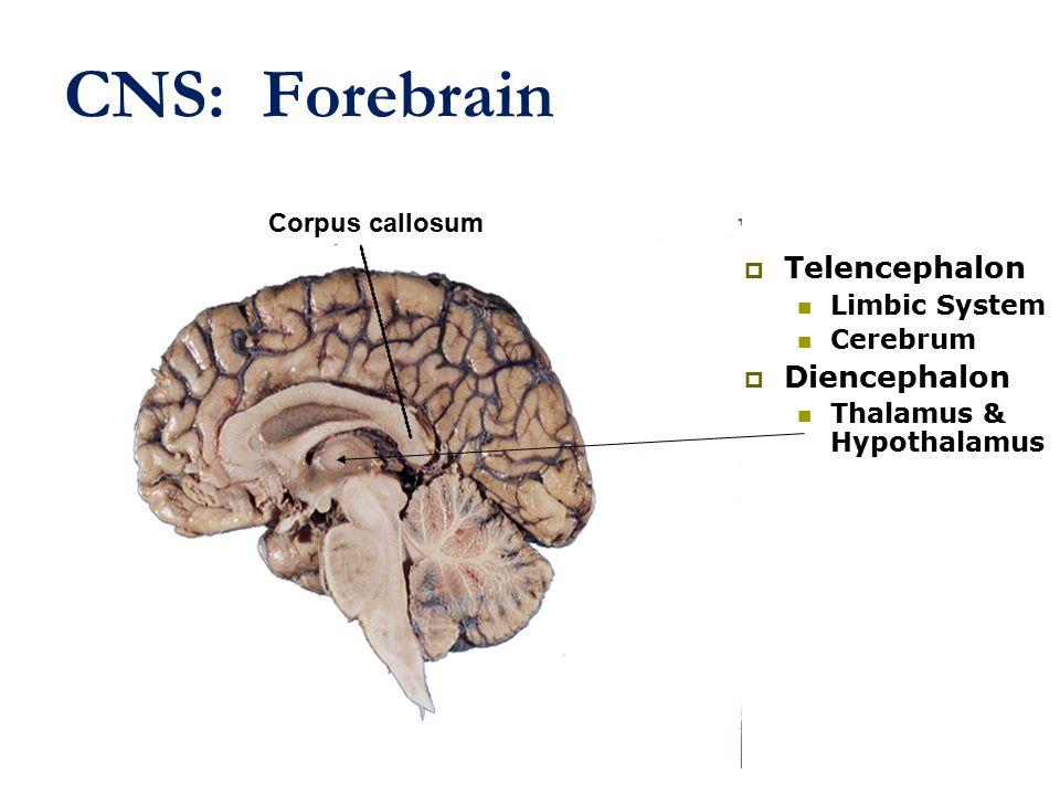 CNS: Forebrain  Telencephalon Limbic System Cerebrum  Diencephalon Thalamus & Hypothalamus Corpus callosum
