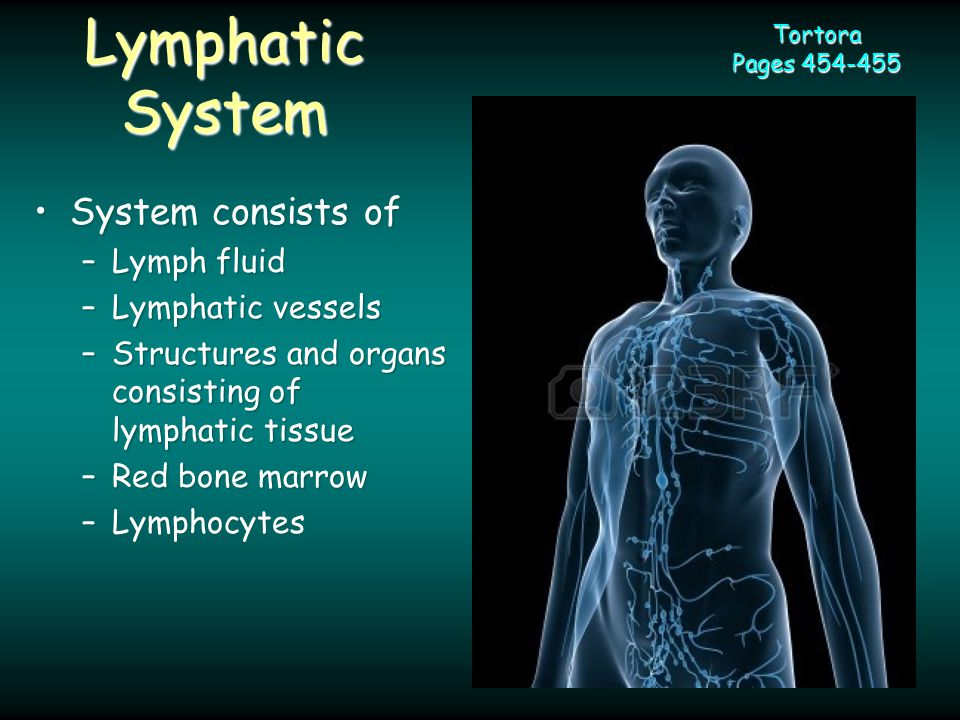 Lymphatic System System consists ofSystem consists of –Lymph fluid –Lymphatic vessels –Structures and organs consisting of lymphatic tissue –Red bone marrow –Lymphocytes Tortora Pages 454-455