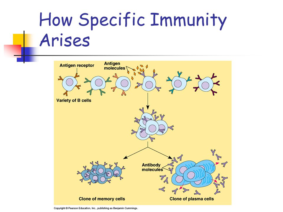 Primary immune response: the first time the body is exposed to an antigen - takes 10 to 17 days for effective response to an antigen Secondary immune response: when the individual is exposed to the same antigen at a later date - takes 2 to 7 days