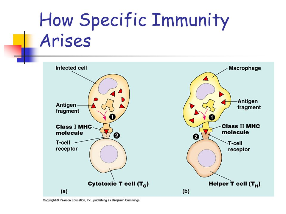 Immune Responses In response to antigens, the immune system can mount a humoral response or a cell-mediated response Humoral immunity: involves B cell activation and results from the production of antibodies that circulate in the blood plasma and lymph to attack free antigens