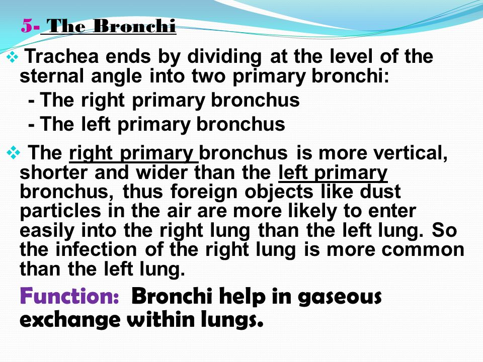 Respiratory Organs….Cont.  The trachea has a fibroblastic wall supported by a cartilaginous skeleton formed by C-shaped rings. These rings are about