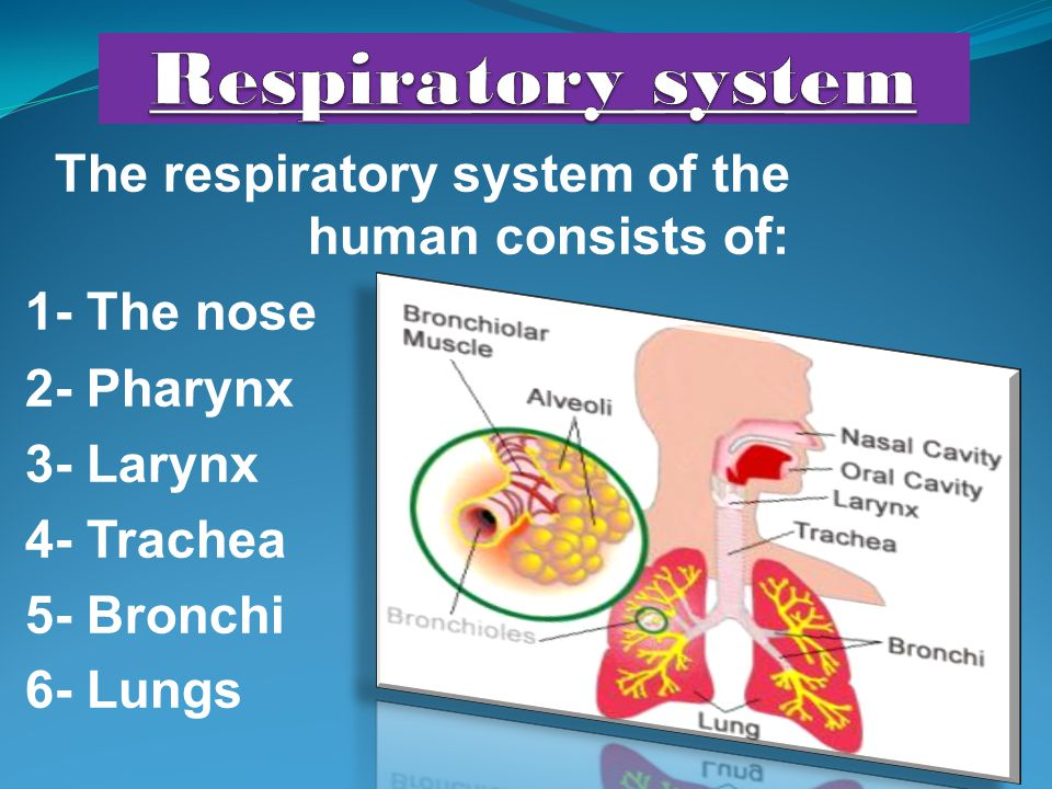 The respiratory system of the human consists of: 1- The nose 2- Pharynx 3- Larynx 4- Trachea 5- Bronchi 6- Lungs
