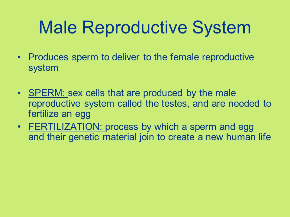 Male Reproductive System Produces sperm to deliver to the female reproductive system SPERM: sex cells that are produced by the male reproductive syste