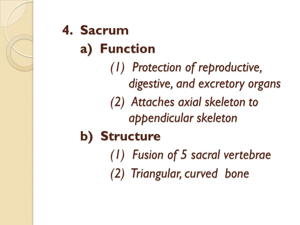 4.Sacrum a) Function (1) Protection of reproductive, digestive, and excretory organs (2) Attaches axial skeleton to appendicular skeleton b) Structure