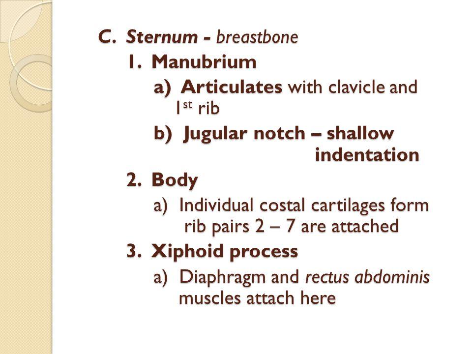C.Sternum - breastbone 1. Manubrium a) Articulates with clavicle and 1 st rib a) Articulates with clavicle and 1 st rib b) Jugular notch – shallow ind