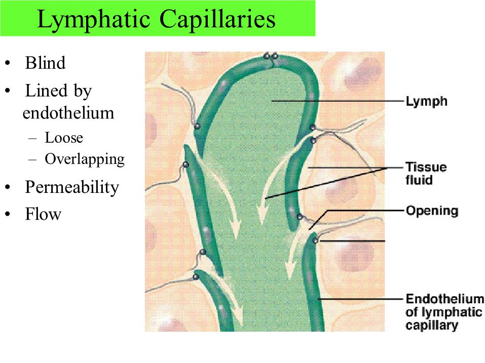 Lymphatic Capillaries Blind Lined by endothelium – Loose – Overlapping Permeability Flow