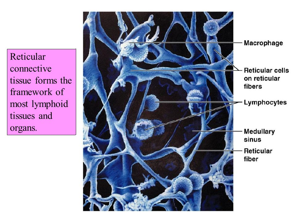 Reticular connective tissue forms the framework of most lymphoid tissues and organs.