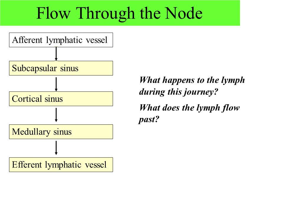 Flow Through the Node Afferent lymphatic vessel Subcapsular sinus Cortical sinus Medullary sinus Efferent lymphatic vessel What happens to the lymph d