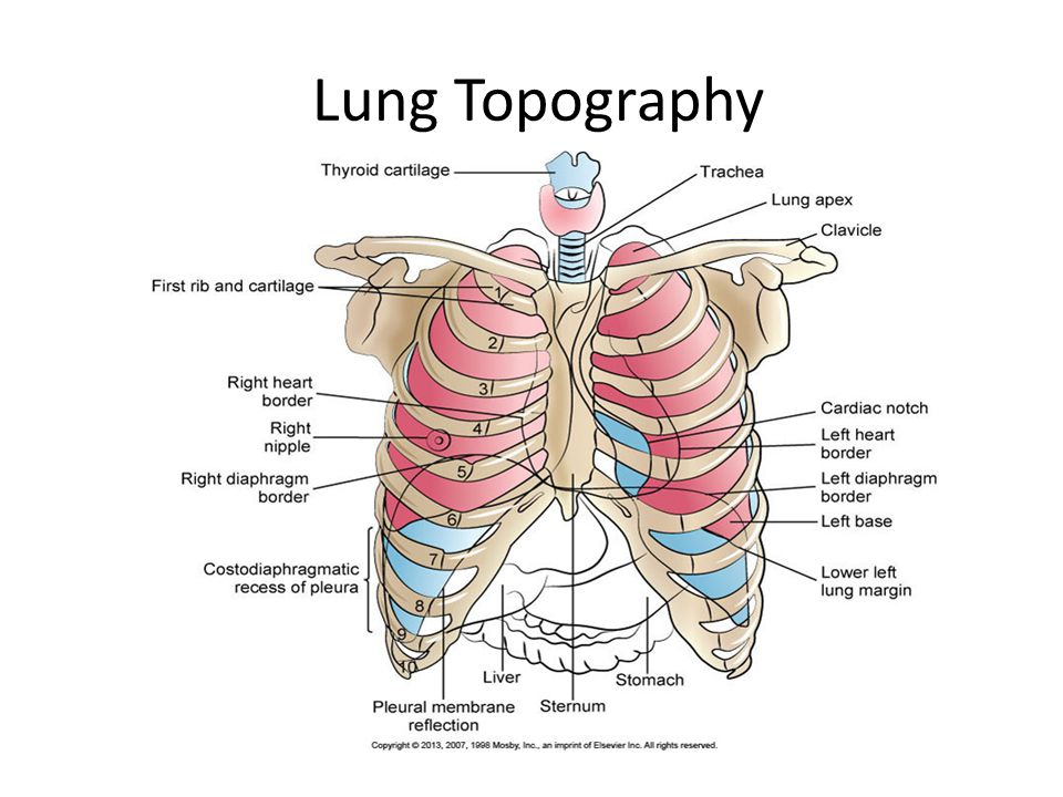 Lung Features Diaphragm ≈ 9 th -11 th rib COPD = Lower Rt Lung = 3 lobes Lt Lung = 2 lobes Which one has less volume?
