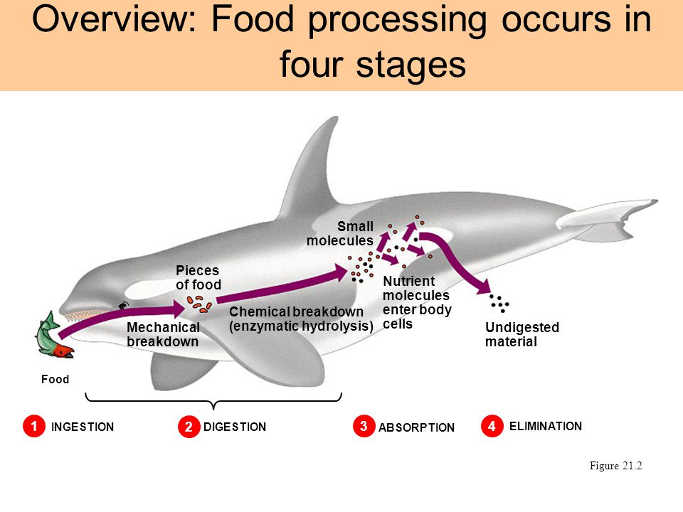 Overview: Food processing occurs in four stages Figure 21.2 1 INGESTION 2 DIGESTION 3 ABSORPTION 4 ELIMINATION Food Mechanical breakdown Pieces of foo
