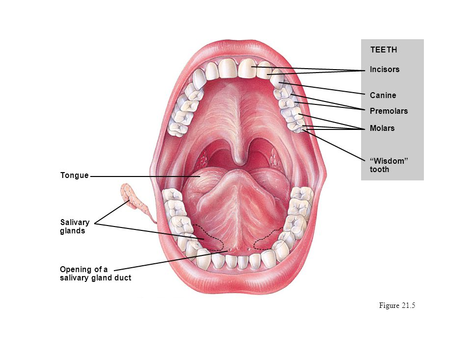 """Figure 21.5 TEETH Incisors Canine Premolars Molars """"Wisdom"""" tooth Tongue Salivary glands Opening of a salivary gland duct"""